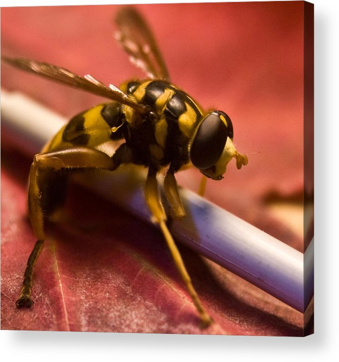 Insect Acrylic Print featuring the photograph Syrphid Fly Poised by Douglas Barnett