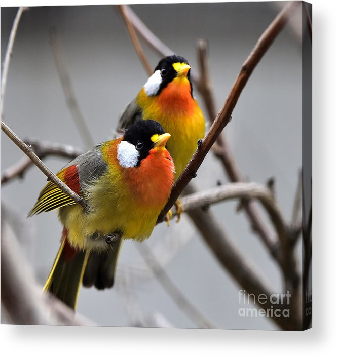Love Acrylic Print featuring the photograph Silver-eared Mesia by Wang Liqiang