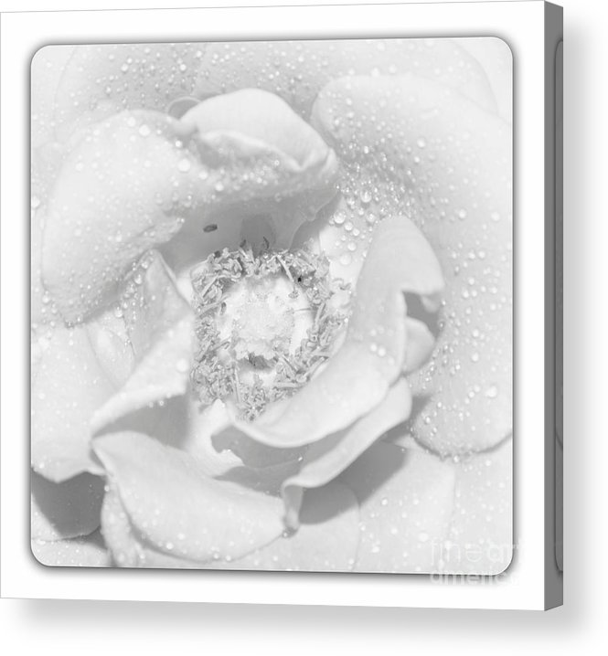 Rose Acrylic Print featuring the photograph Macro Image Of A Rose by Stefano Senise