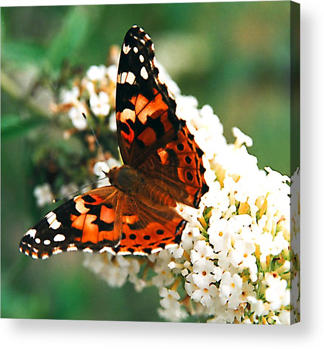 Butterfly Acrylic Print featuring the photograph Butterfly Bush by Paul Trunk