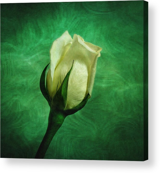 Roses Acrylic Print featuring the photograph White Rose by Sandy Keeton