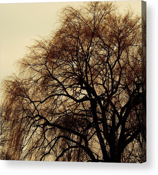 Beautiful Winter Willow Tree  Yellow Acrylic Print featuring the photograph Burlington Willow by Todd Sherlock
