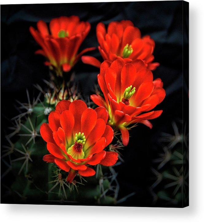 Arizona Acrylic Print featuring the photograph Hedgehog Cactus by Saija Lehtonen