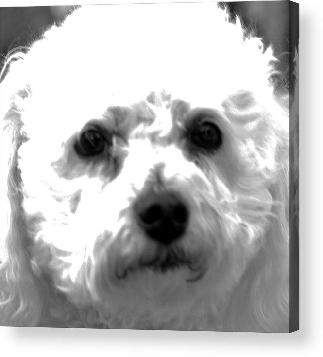 Animal Acrylic Print featuring the photograph Painterly Bichon Frise by Patrice Zinck