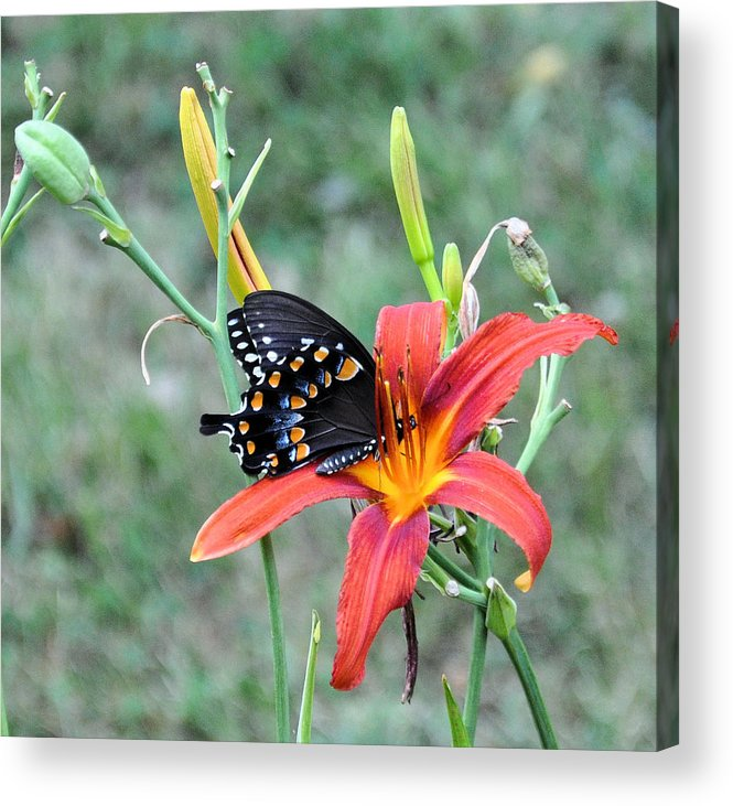 Floral Acrylic Print featuring the photograph Daylily Delight 2 by Jan Amiss Photography