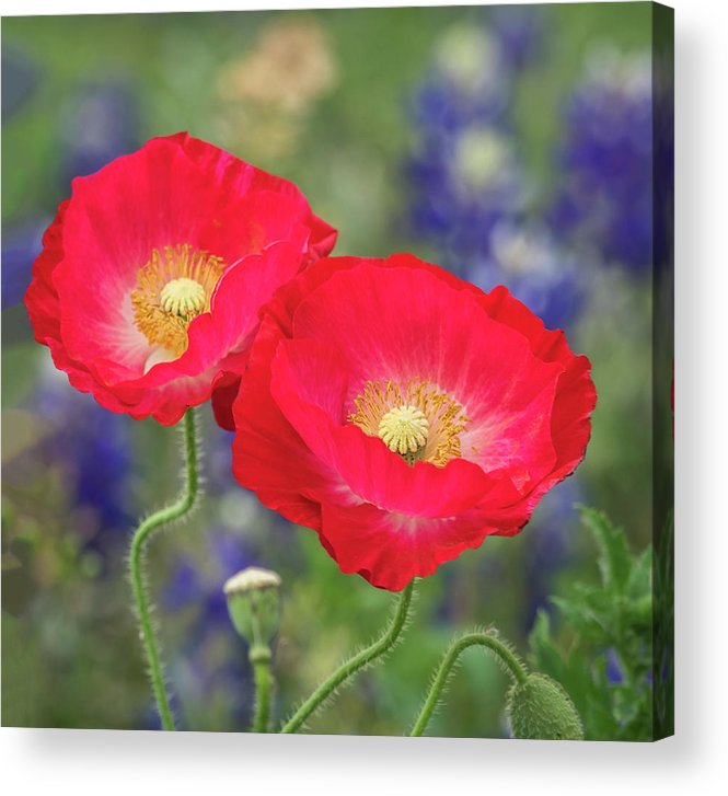 Flowers Acrylic Print featuring the photograph Double Take-two Red Poppies. by Usha Peddamatham