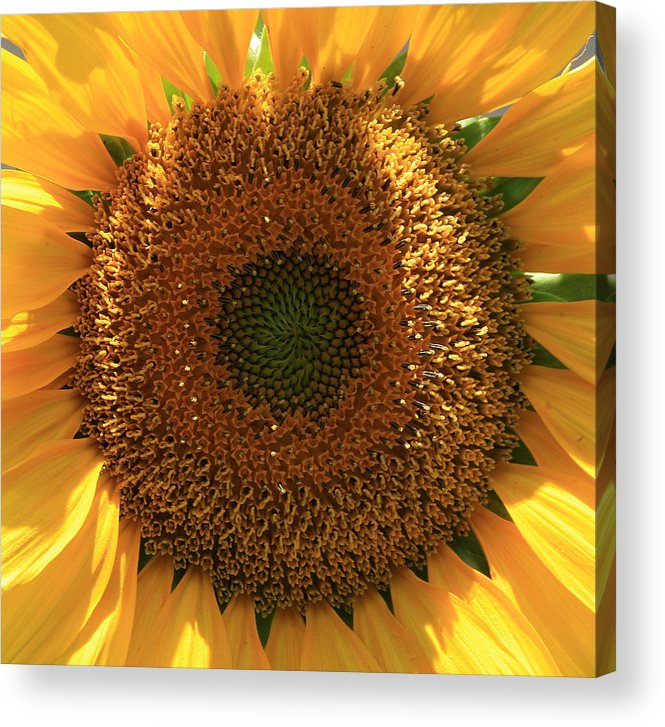 Sunflower Acrylic Print featuring the photograph Sunflower by Marna Edwards Flavell