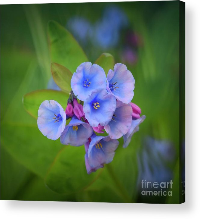 Virginia Bluebells Acrylic Print featuring the photograph Virginia Bluebells by Mary Machare