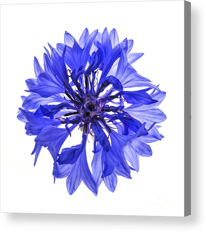 Cornflower Acrylic Print featuring the photograph Blue Cornflower Flower by Elena Elisseeva