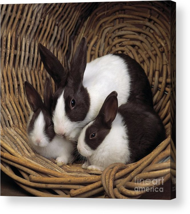 Pet Acrylic Print featuring the photograph Dutch Rabbit With Young by E A Janes