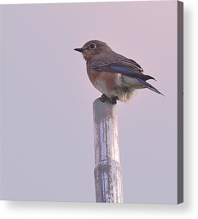 Bluebird Acrylic Print featuring the photograph Blue Bird by Bedford Shore Photography