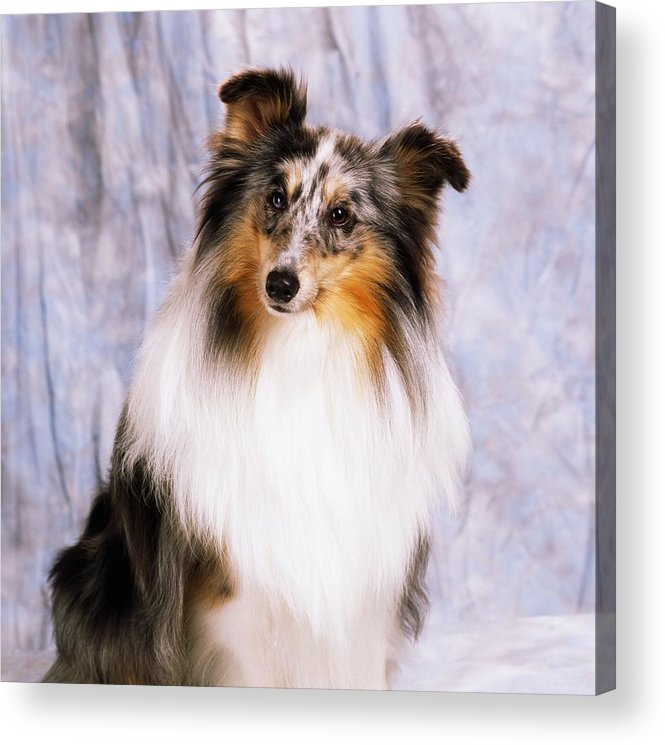 Color Acrylic Print featuring the photograph Shetland Sheepdog Portrait Of A Dog by The Irish Image Collection