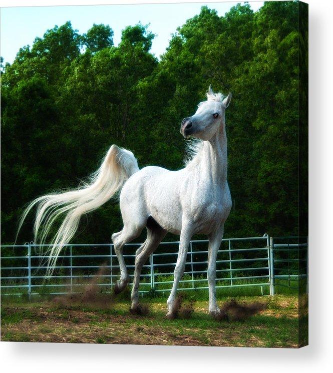 Arabian Horse Acrylic Print featuring the photograph Arabian Dance by Katie Abrams