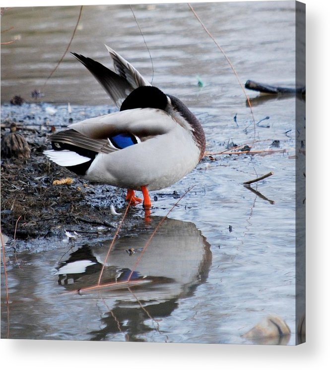 Duck Acrylic Print featuring the photograph Bashful by Trudi Southerland
