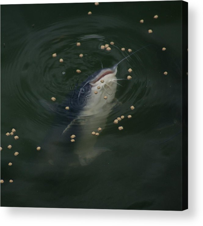 Catfish Acrylic Print featuring the photograph Catmandu by Debbie May
