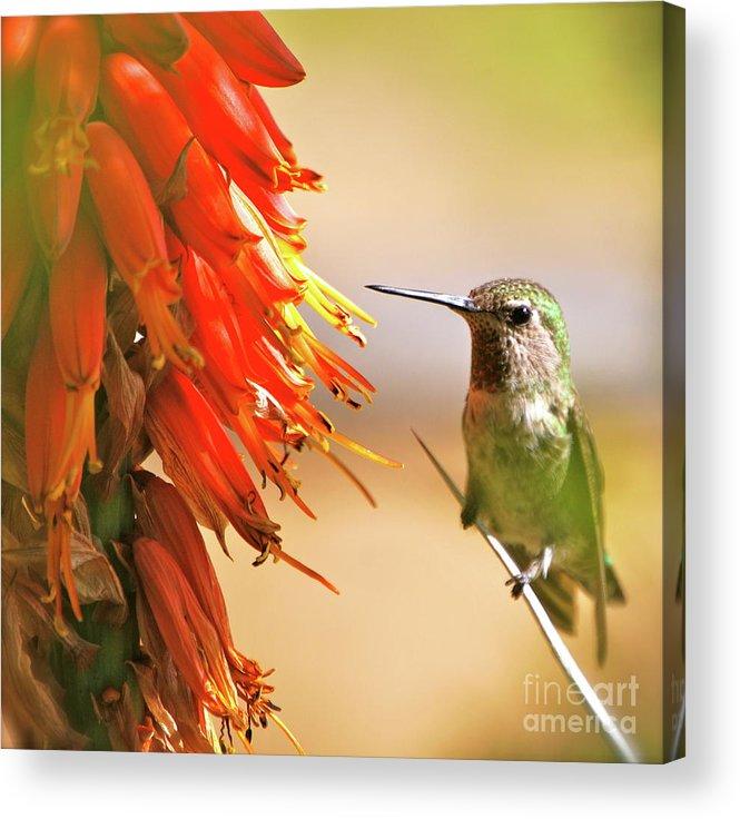 Hummingbird Acrylic Print featuring the photograph Hmmm Hmmm Hmmm by Lori Leigh