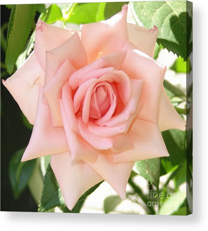 Rose Acrylic Print featuring the photograph Janet's Pink Rose by Rod Ismay