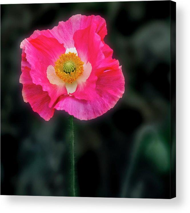 Texas Acrylic Print featuring the photograph Regal Looking Poppy. by Usha Peddamatham