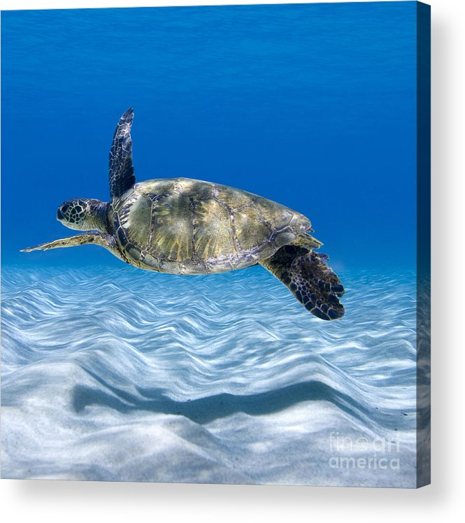 Turtle Acrylic Print featuring the photograph Turtle Flight - Part 2 Of 3 by Sean Davey