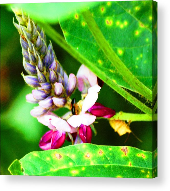 Flower Acrylic Print featuring the photograph Kudzoo Flower by Lisa Johnston