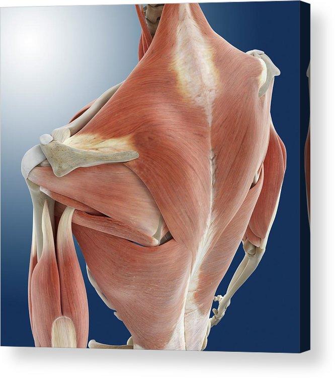 Shoulder And Back Anatomy Acrylic Print By Springer Medizin