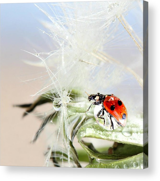 Drops Acrylic Print featuring the photograph Ladybug by Heike Hultsch