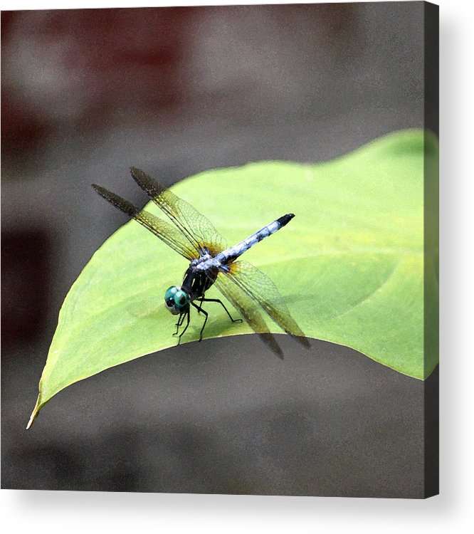 Dragonfly Acrylic Print featuring the photograph Dragonfly Dimernsions II by Suzanne Gaff