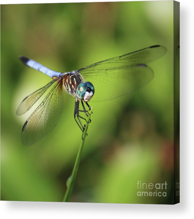 Dragonfly Acrylic Print featuring the photograph Dragonfly Square by Carol Groenen