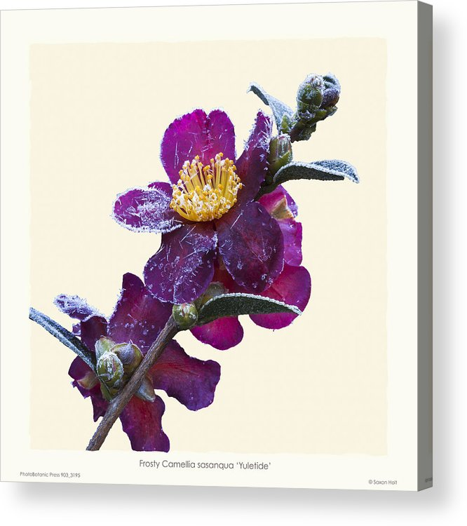 Frost Acrylic Print featuring the photograph Frost On Camellia Sasanqua 'yuletide' by Saxon Holt