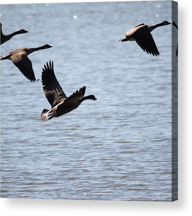 Canada Geese Acrylic Print featuring the photograph Geese In Flight by Nancy Tardiff