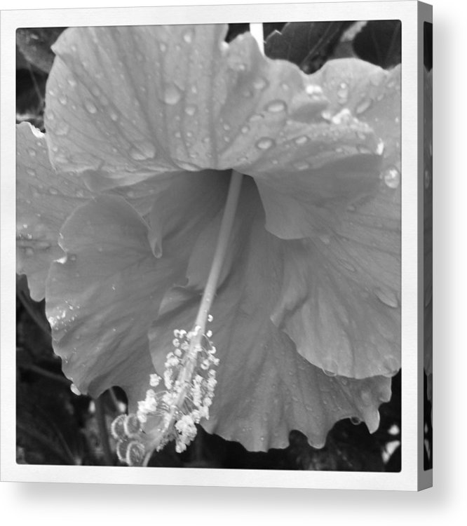 Flower Acrylic Print featuring the photograph Hibiscus by Jessica Coyle