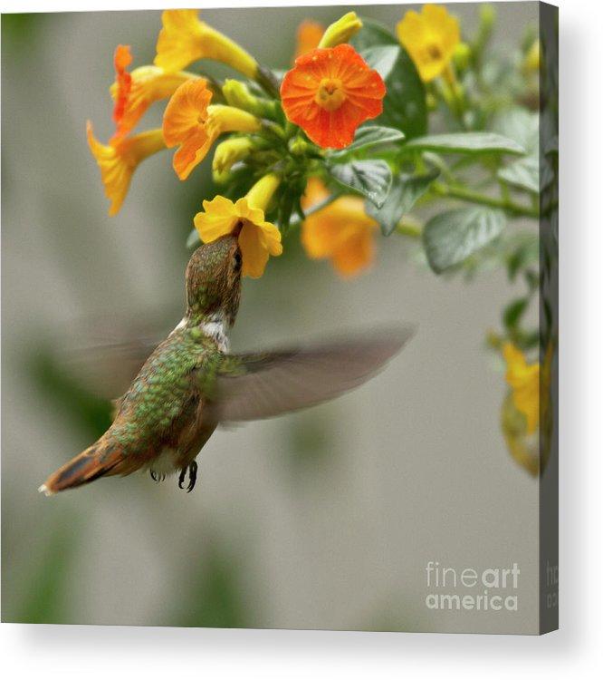 Bird Acrylic Print featuring the photograph Hummingbird Sips Nectar by Heiko Koehrer-Wagner