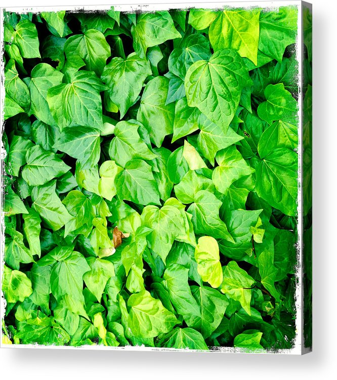 Lush Acrylic Print featuring the photograph Ivy by Les Cunliffe