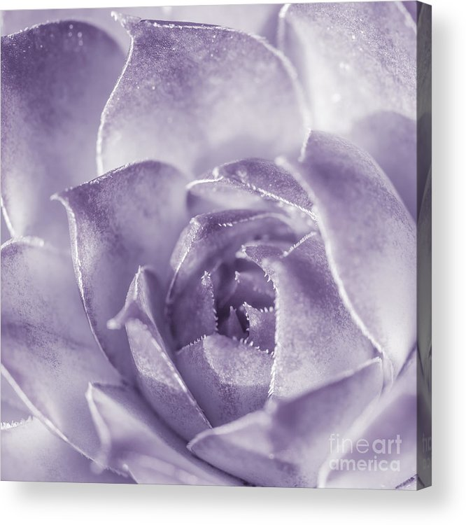 Purple Floral Photography Prints Acrylic Print featuring the photograph Purple Succulent by Lucid Mood