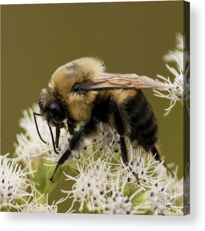Festblues Acrylic Print featuring the photograph The Bumble Bee.. by Nina Stavlund