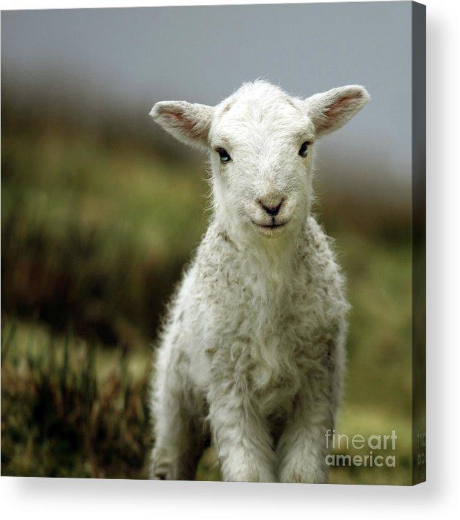 Wales Acrylic Print featuring the photograph The Lamb by Angel Ciesniarska