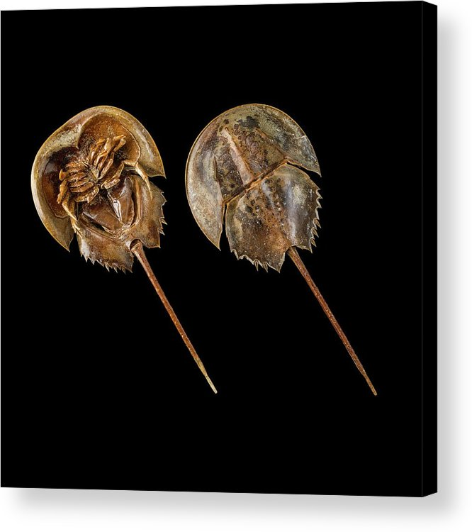 Animal Acrylic Print featuring the photograph Two Atlantic Horseshoe Crabs by Science Photo Library