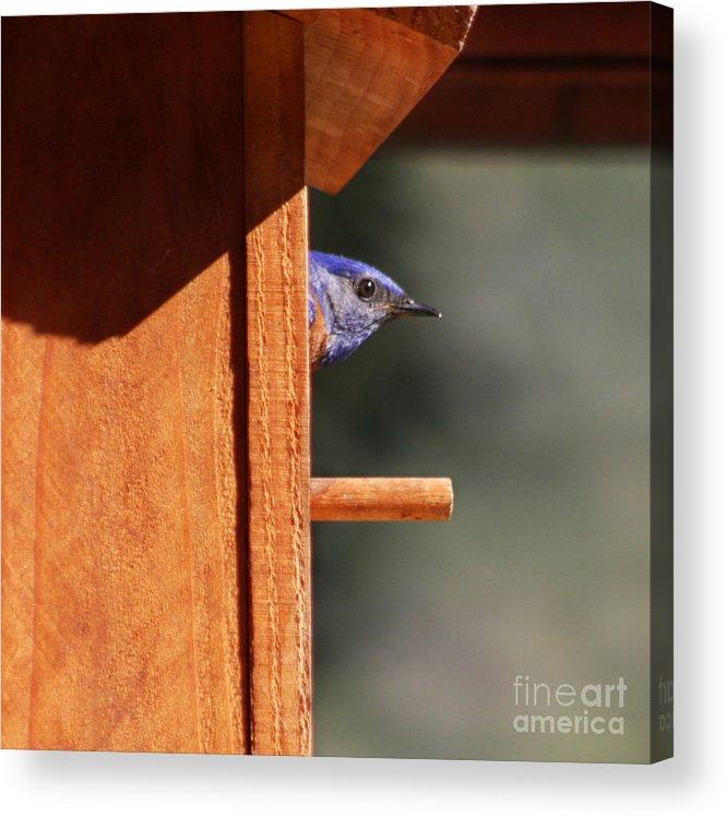 Bluebird Acrylic Print featuring the photograph Western Bluebird At Nest by Bob and Jan Shriner
