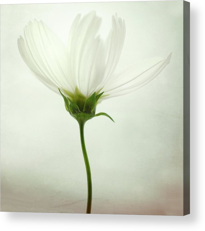 White Acrylic Print featuring the photograph White Cosmos by Lotte Gr?nkj?r