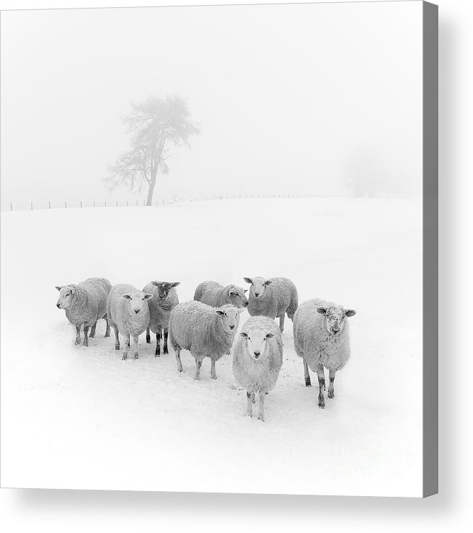 Sheep In Winter Acrylic Print featuring the photograph Winter Woollies by Janet Burdon