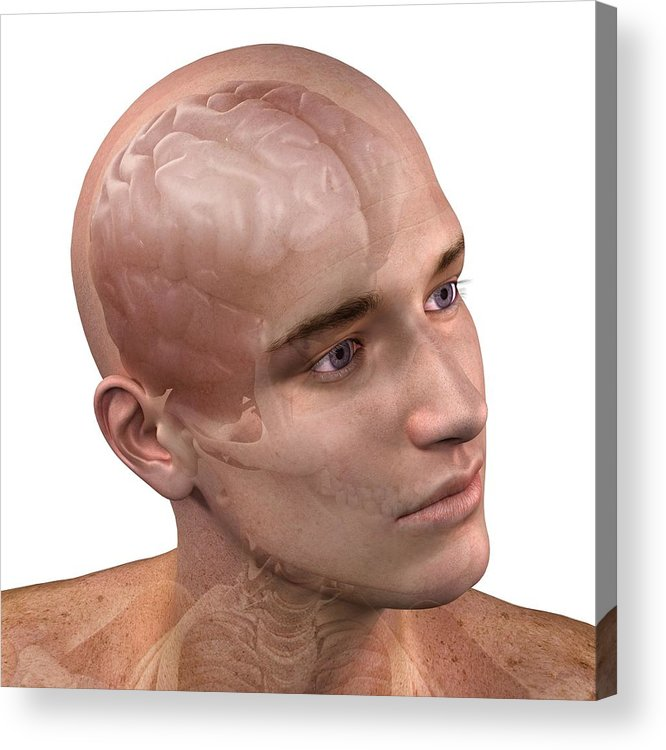 Artwork Acrylic Print featuring the photograph Head Anatomy, Artwork by Sciepro