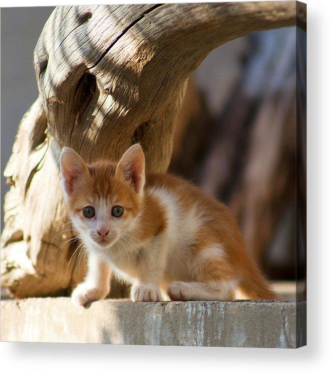 Cat Acrylic Print featuring the photograph Sweet Cat by Manolis Tsantakis