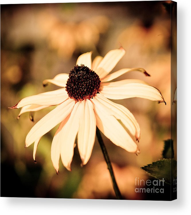 Cone Acrylic Print featuring the photograph Cone Flower Grunge by Ben Haslam