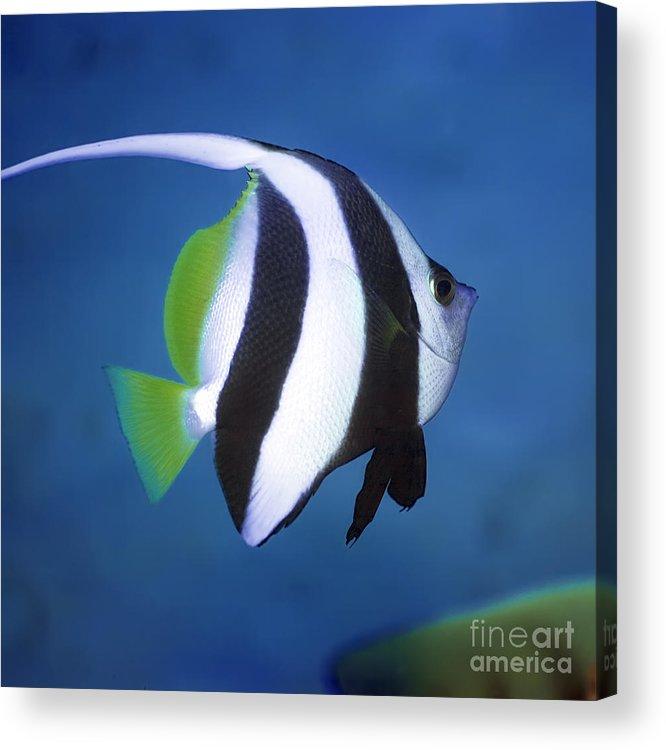 Long-fin Banner-fish Acrylic Print