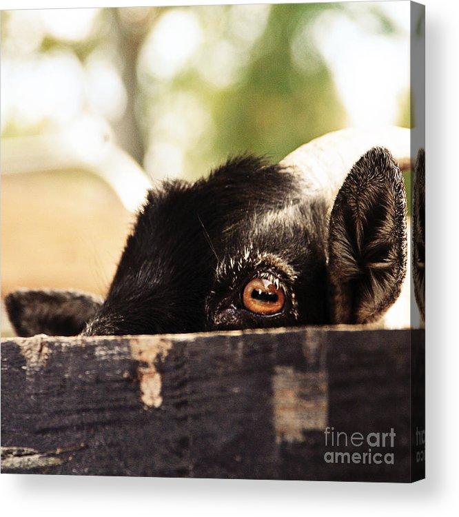 Farm Acrylic Print featuring the photograph Peek-a-boo by Beth Engel