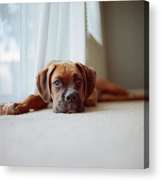 Square Acrylic Print featuring the photograph Tan Boxer Puppy Laying On Carpet Near Window by Diyosa Carter