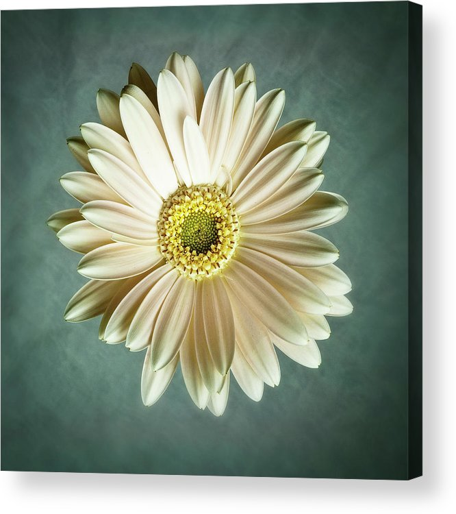 Flower Acrylic Print featuring the photograph White Daisy by Tamyra Ayles