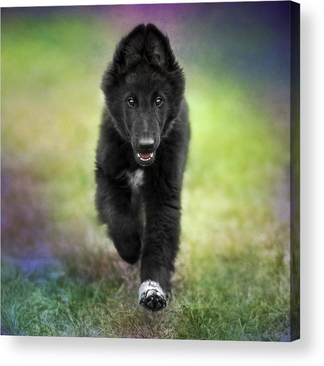 Belgian Sheepdog Puppy Acrylic Print By Wolf Shadow Photography