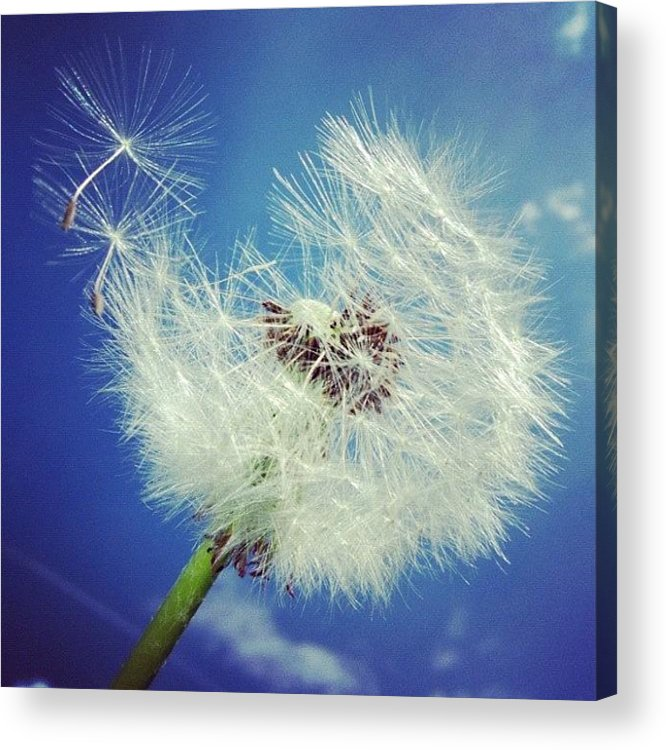 Dandelion Acrylic Print featuring the photograph Dandelion And Blue Sky by Matthias Hauser