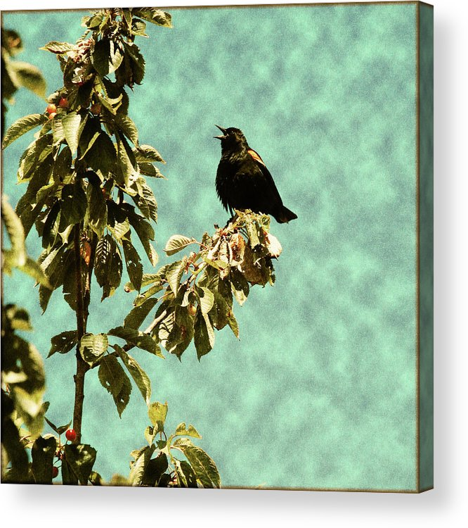 Redwing Blackbird Acrylic Print featuring the photograph Blackbird's Song by Bonnie Bruno